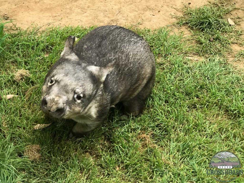 A Wombat at Lonepine Koala Sanctuary